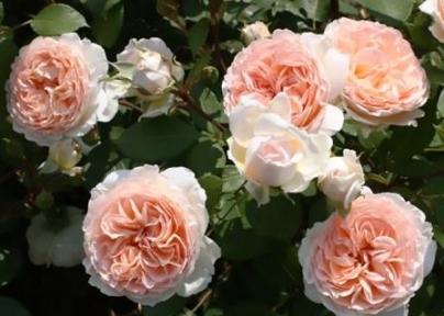 Роза флорибунда Мерхензаубер