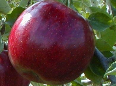 Яблоня Рубин стар