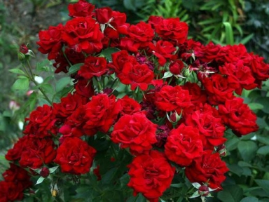 Роза флорибунда Кордула