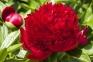 Пион травянистый «Red Magic»
