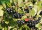 Арония (рябина) черноплодная - Arónia melanocárpa