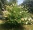Рябинник рябинолистный - Sorbaria sorbifolia