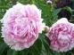 Пион травянистый «Sarah Bernhardts»